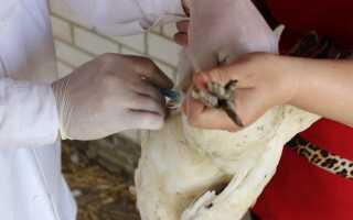 Чем болеют индюки и как их лечить: практические советы для птицеводов