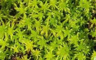 Сфагнум (мох) – полезные свойства и применение сфагнума, лист сфагнума, виды сфагнума