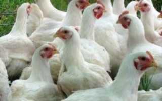 Как правильно кормить цыплят бройлеров: описание рациона