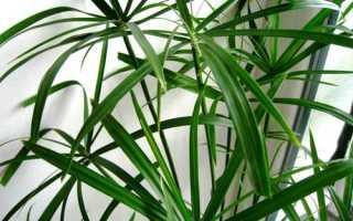 Циперус уход, полив, пересадка и размножение в домашних условиях
