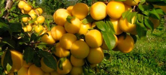 Сорта желтых слив – фото с описанием и особенностями разновидностей