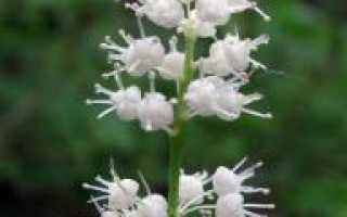 Майник двулистный: описание, состав, свойства, применение и действие растения