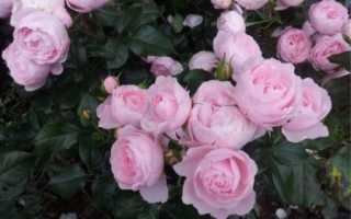 Роза флорибунда: выращивание и уход в открытом грунте, РАСТЮНЬКА