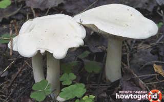 Рядовка белая — описание, где растет, ядовитость гриба