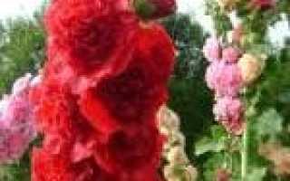 Шток-роза – полезные свойства и применение шток розы, уход за шток розой, цветы шток-розы, посадка