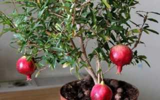 Гранат комнатный: уход в домашних условиях, гранатовое дерево