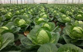 Как правильно выбрать и вырастить семена ранней капусты, Наш сад