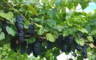 Виноград Вэлиант: описание сорта, особенности посадки и ухода, отзывы