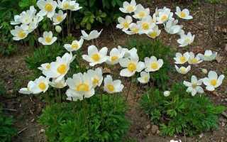 Анемона (ветреница): посадка и уход в открытом грунте и комнатных условиях, фото цветов