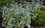 Секреты успешного выращивания бруннеры в саду: посадка и уход — Ландшафтный дизайн