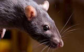 Чернокорень лекарственный (крысогон): где растет, как использовать от мышей, крыс и кротов