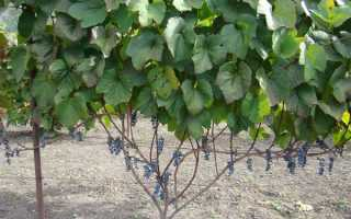 Виноград Амурский: описание сорта, правильная посадка и уход
