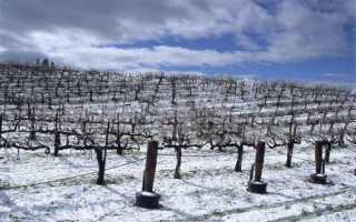 Виноград который не укрывают на зиму (морозоустойчивые сорта)