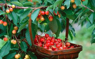 Самоплодные сорта черешни для Средней полосы России с фото и описанием