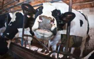 Содержание молочного скота в летний и зимний период