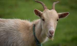 Кровь в молоке у козы: причины появления, профилактика и лечение возможных заболеваний