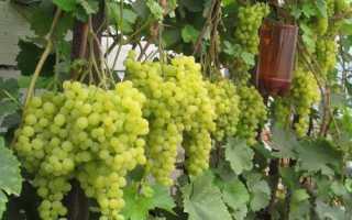 Виноград супер ранний: сорта, описание видов