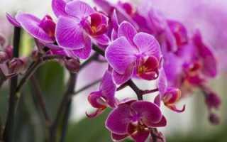 Орхидеи башмачки: уход в домашних условиях