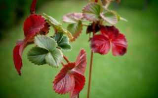 Почему краснеют листья у клубники и что делать в таком случае?
