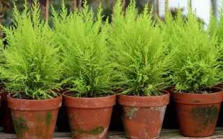 Как правильно вырастить кипарис в домашних условиях