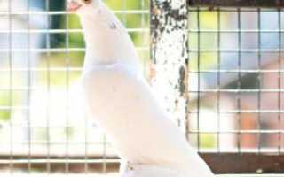 Бойные голуби (50 фото): краснодарские кувыркающийся породы, описание и характеристика, красивые ташкентские, полет северокавказских