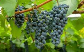 Виноград Таежный описание сорта, особенности выращивания, фото и отзывы