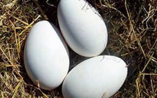 Сколько дней гусыня высиживает яйца и как посадить ее на кладку
