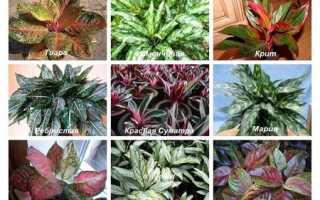 Аглаонема — различные виды и сорта для выращивания дома, видео