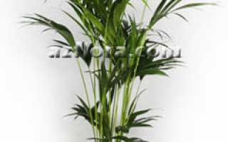 Пальма Ховея — уход, пересадка, проблемы выращивания, размножение