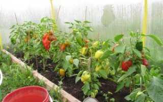 Выращивание сладкого перца в теплице из поликарбоната: как вырастить овощ правильно?