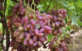 Виноград Преображение: описание сорта, фото, отзывы