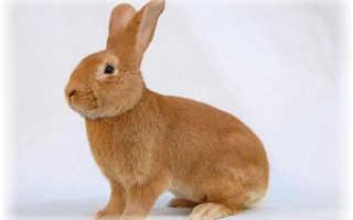 Бургундская порода кроликов — особенности ухода, разведения и выбора