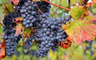 Осенняя обработка и подкормка винограда, подготовка к зиме