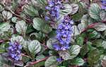 Живучка ползучая: посадка и уход в открытом грунте, фото, выращивание из семян