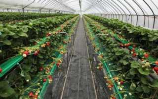 Клубника в теплице: технология выращивания круглый год, как сажать, клубничный бизнес