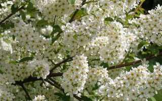 Черемуха – полезные свойства и применение черемухи, плоды и листья черемухи