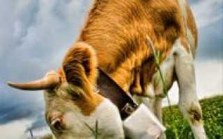 Особенности кормления стельных сухостойных коров — Научно-популярный портал «Биомедиа»