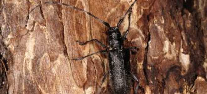 Вредители хвойных деревьев: самые распространенные и опасные