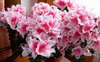 Что делать если пропадает азалия, основные болезни цветка