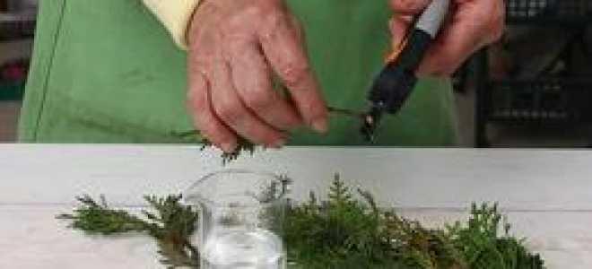 Размножение туи черенками весной в домашних условиях