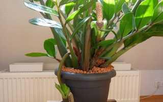 Как цветет замиокулькас в домашних условиях ( фото)