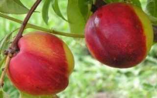 Самые лучшие советы по уходу за персиком осенью