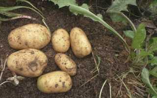 Картофель: лучшие сидераты для посадки весной, какой сидерат посадить после