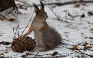 Орехи кедровые польза и вред