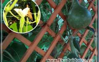 Выращивание и уход за лагенарией (бутылочной тыквой или горлянкой)