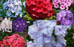 Лучшие сорта флоксов — пирамидальные, метельчатые, мелкоцветковые, видео