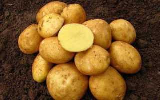Картофель Винета: описание и характеристика сорта, посадка и уход, борьба с вредителями