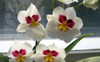 Орхидея мильтония: уход, размножение, пересадка