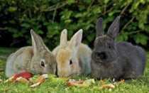 Можно ли давать кроликам редьку: чёрную, зелёную, дикую