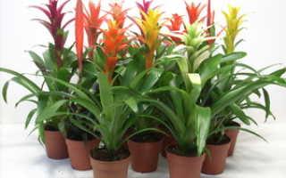 Бромелия микс: условия пересадки, выращивания и ухода за цветком в домашних условиях